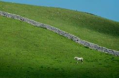 Mur de pierres sèches solitaire de cheval blanc Photos stock