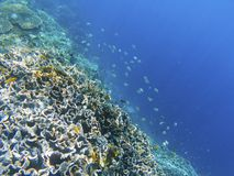 Mur de récif coralien avec des poissons de dascillus Rivage exotique d'île Photo sous-marine de paysage tropical de bord de la me Photographie stock libre de droits