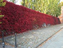Mur de roses rouges Image stock