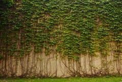 Mur de vigne Photos libres de droits