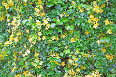 Mur de vigne avec les fleurs jaunes Image stock