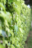 Mur des feuilles Photographie stock