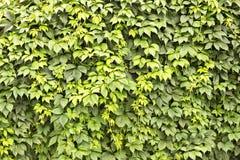 Mur des feuilles Images libres de droits