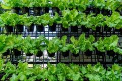 Mur des légumes verts Image libre de droits