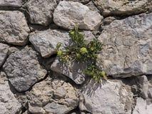 Mur en pierre avec l'usine Photographie stock libre de droits
