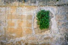 Mur en pierre carrelé âgé avec l'usine verte de plante grimpante avec l'espace a de copie Images libres de droits