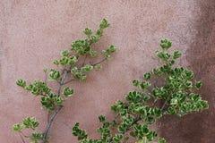 Mur rose avec des branches d'usine image stock