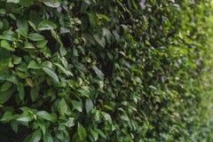 Mur vert de bosquet Images stock