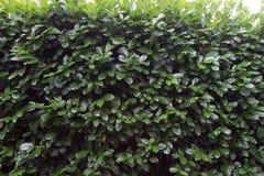 Mur vert de haie dehors Photo libre de droits