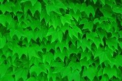 mur vert de lierre Photos libres de droits