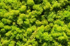 Mur vert de mousse, texture de vue supérieure Images libres de droits