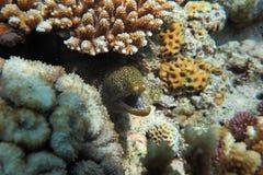 Muraenesoxcinereus Stock Foto's