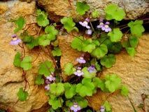 Muralis Cymbalaria на каменной стене Стоковые Изображения RF