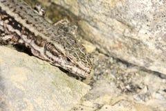 Muralis de Podarcis, lagarto común de la pared de Alemania Imagen de archivo libre de regalías