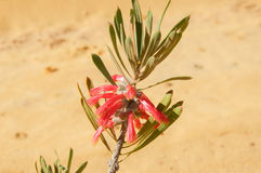 Murchison Claw Flower: Kalbarri Bushland Stock Photo