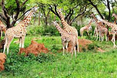 MUrchison falls national park, Uganda. A family of giraffes having a good day in the jungles of the Murchison falls national park in Uganda, feeding, relaxing royalty free stock image