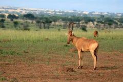 Murchison Falls NP, Uganda, Africa Royalty Free Stock Photos