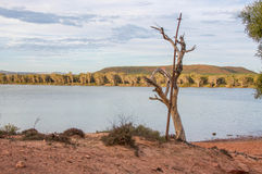 Murchison River: Leafless Tree Stock Photography