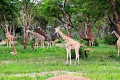 Murchison valt nationaal park, Oeganda stock fotografie