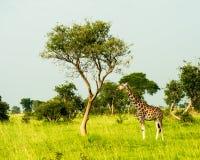 Murchison valt nationaal park, Oeganda stock afbeelding