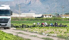 Free Murcia, Spain, May 2, 2020: Farmers Suply During Coronavirus Lock Down. Farmers Or Farm Workers Picking Up Lettuces In Stock Image - 181384231