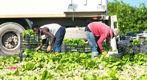 Free Murcia, Spain, May 2, 2020: Farmers Suply During Coronavirus Lock Down. Farmers Or Farm Workers Picking Up Lettuces In Royalty Free Stock Image - 181403766