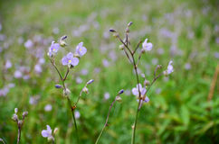 Murdannia giganteum,在冬天季节的泰国紫罗兰色花 免版税库存图片