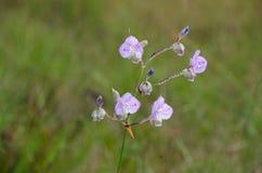 Murdannia giganteum,在冬天季节的泰国紫罗兰色花 库存照片