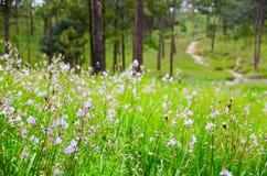 Murdannia giganteum,在冬天季节的泰国紫罗兰色花 免版税图库摄影
