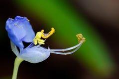 Murdannia giganteum,紫罗兰色花 免版税库存照片