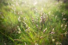 Murdannia giganteum 库存照片
