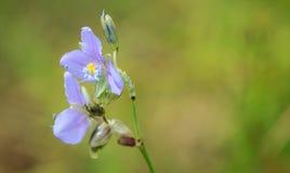 Murdannia Giganteum blomma Arkivfoto