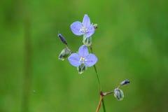 Murdannia Giganteum blomma Royaltyfria Foton