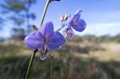 Murdannia giganteum kwiat w zimie i Commelinaceae jest swój rodziną obrazy royalty free