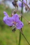 Murdannia giganteum, Thai purple flower and Pine forest Stock Photos