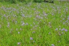 Murdannia giganteum, Thai purple flower and Pine forest Stock Photography