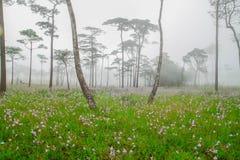 Murdannia-giganteum, thailändische purpurrote Blume Lizenzfreies Stockbild