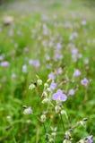 Murdannia-giganteum, thailändische violette Blume in der Wintersaison Lizenzfreies Stockbild