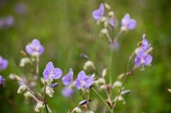 Murdannia-giganteum, thailändische violette Blume in der Wintersaison Lizenzfreie Stockbilder