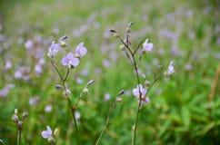 Murdannia giganteum, thailändsk violett blomma i vintersäsong Royaltyfria Bilder