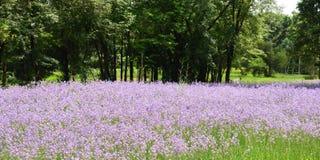 Murdannia giganteum Vahl BR Fotografia Royalty Free