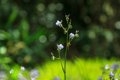 Murdannia giganteumblomma med bokehbakgrund Arkivfoton