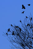 A murder of crows as an abstract  background Royalty Free Stock Images