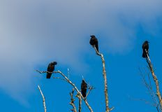 Murder of crows gathering on dead tree branches royalty free stock images