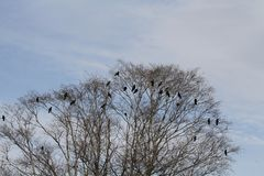 A murder of crows stock photography