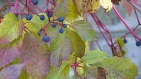 Mure girt com a videira de uvas selvagens vídeos de arquivo