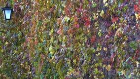 Mure girt com a videira de uvas selvagens filme