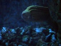 Murena在深蓝色海察觉了蛇靠近珊瑚紧密 库存图片