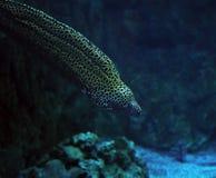 Murena在深蓝色海洋察觉了海蛇靠近珊瑚 免版税库存图片