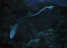 Murena在蓝色海察觉了蛇靠近珊瑚关闭  免版税图库摄影